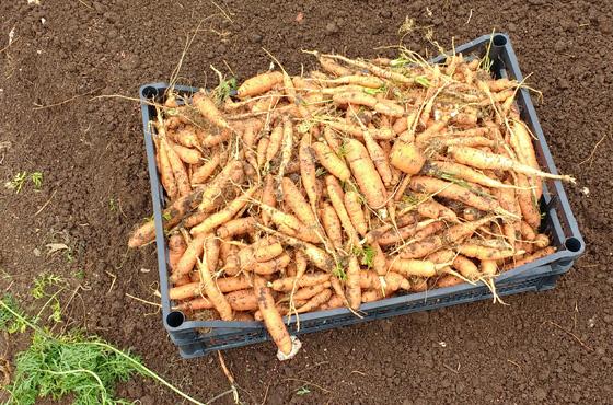 Orto-carote-terrarossa-caneva