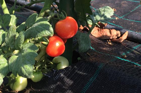 Orto-pomodori-Terrarossa